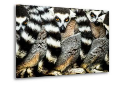 Lemurs (Lemuroidea), Cotswold Safari Park, Oxfordshire, England, United Kingdom, Europe
