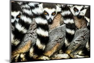 Lemurs (Lemuroidea), Cotswold Safari Park, Oxfordshire, England, United Kingdom, Europe by John Alexander