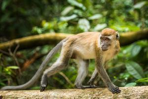 Long Tailed Macaque (Macaca Fascicularis), Indonesia, Southeast Asia by John Alexander