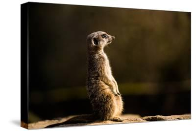 Meerkat (Suricate) (Suricata Suricatta), United Kingdom, Europe