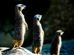 Meerkats (Suricata Suricatta) in Captivity, United Kingdom, Europe by John Alexander