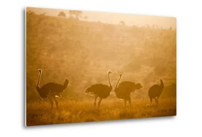 Ostriches (Struthio Camelus) at Sunset, Kenya, East Africa, Africa