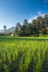 Padi Field in Lake Toba, Sumatra, Indonesia, Southeast Asia by John Alexander