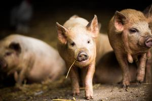 Piglet, Hertfordshire, England, United Kingdom, Europe by John Alexander