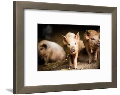 Piglet, Hertfordshire, England, United Kingdom, Europe