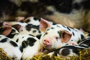 Piglets in Gloucestershire, England, United Kingdom, Europe by John Alexander