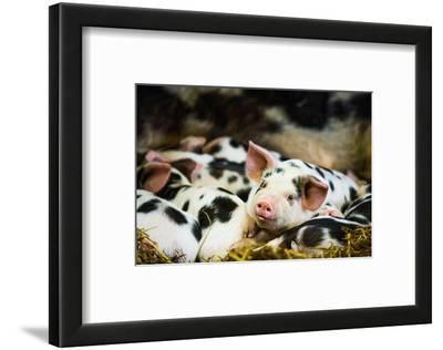 Piglets in Gloucestershire, England, United Kingdom, Europe