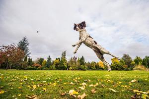 Springer Spaniel jumping to catch treat, United Kingdom, Europe by John Alexander