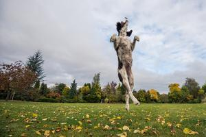 Springer Spaniel leaping for treat, United Kingdom, Europe by John Alexander