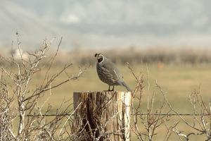 A California Quail on a Fence Post in the Carson Valley of Nevada by John Alves