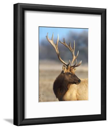 A Head Portrait of a Stunning Elk