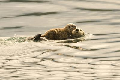 A Mother Sea Otter Swims on Her Back as Her Baby Rests on Her Stomach in Alaskan Waters by John Alves
