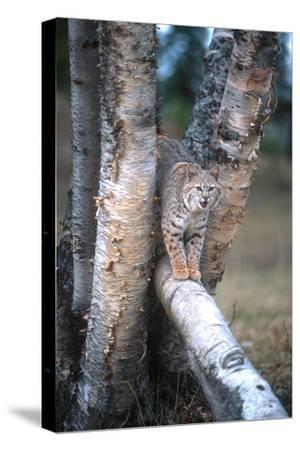 Bobcat on a Fallen Birch Limb