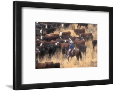 Cowboy Herding Cattle in the Sierras of California Near Bridgeport