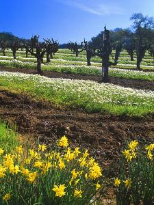 Flowers in a Vineyard at the Sausal Winery, Sonoma County, California, USA by John Alves