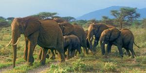 Group of African Bush Elephants on the Move in Samburu National Reserve, Kenya by John Alves