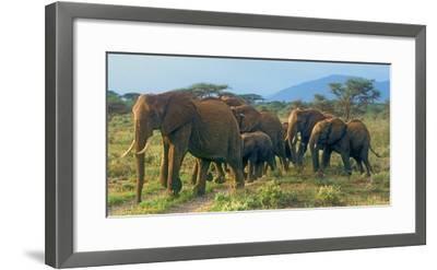 Group of African Bush Elephants on the Move in Samburu National Reserve, Kenya