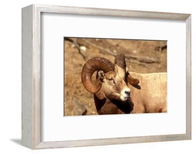 Male Bighorn Sheep Close-Up