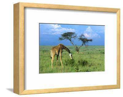 Masai Giraffe Grazing on the Serengeti with Acacia Tree and Clouds