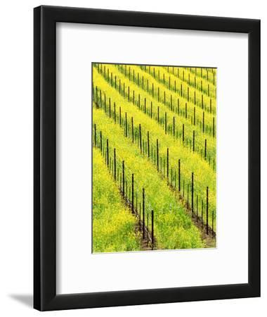 Mustard Plants in Vineyard, Napa Valley Wine Country, California, USA