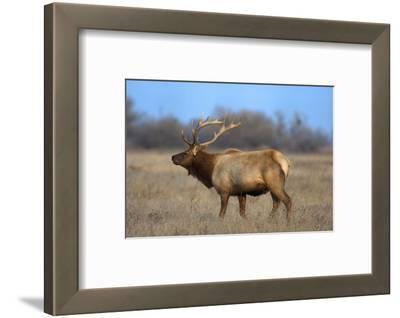 Profile Photo of a Male Elk