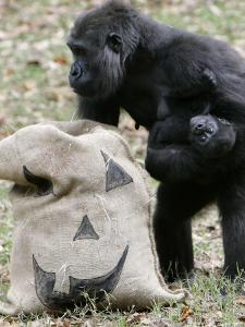 Sukari, an 8-Year-Old Mother Gorilla, Rummages Through a Trick or Treat Bag by John Amis