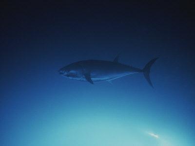 A Tuna Fish Swimming in the Water