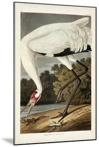 Pl 226 Hooping Crane by John Audubon