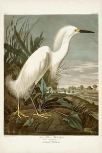 Pl 242 Snowy Heron by John Audubon