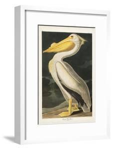 Pl 311 American White Pelican by John Audubon