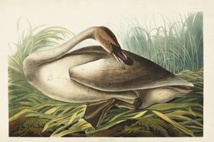 Pl 376 Trumpeter Swan by John Audubon