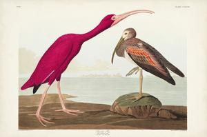 Pl 397 Scarlet Ibis by John Audubon
