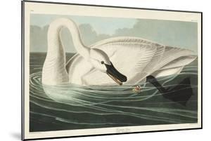 Pl 406 Trumpeter Swan by John Audubon