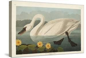 Pl 411 Common American Swan by John Audubon