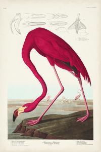 Pl 431 American Flamingo by John Audubon