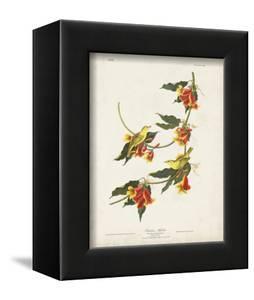 Pl 65 Rathbone Warbler by John Audubon