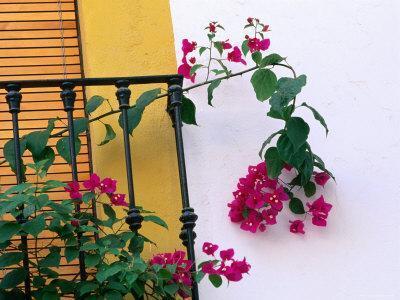 Bougainvillea Flower on Balcony, Cordoba, Andalucia, Spain