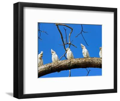 Corella Parrots on Branch, Kakadu National Park, Northern Territory, Australia