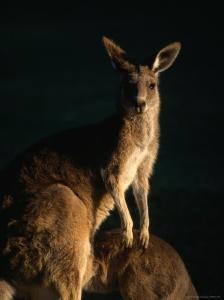 Kangaroo at Night, Anglesea, Australia by John Banagan