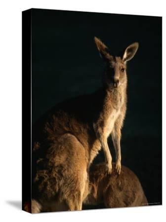 Kangaroo at Night, Anglesea, Australia