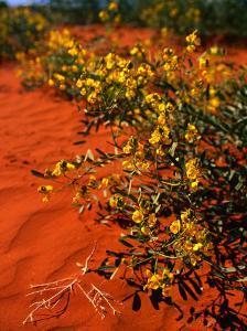Oval Leaf Cassia (Cassia Oliophylla) in Outback Sand, Australia by John Banagan