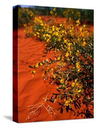 Oval Leaf Cassia (Cassia Oliophylla) in Outback Sand, Australia