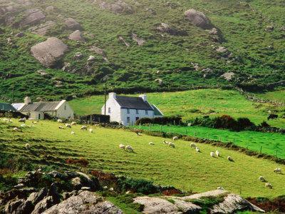 Sheep Grazing Near Farmhouses, Munster, Ireland