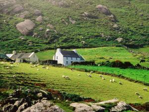 Sheep Grazing Near Farmhouses, Munster, Ireland by John Banagan