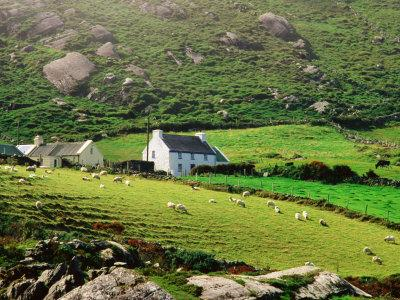 Sheep Grazing Near Farmhouses, Munster, Ireland