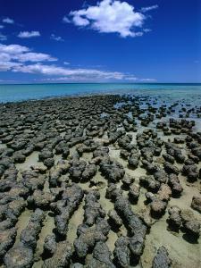 Stromatolites in Hamelin Pool, Near Monkey Mia, Hamelin Bay, Australia by John Banagan