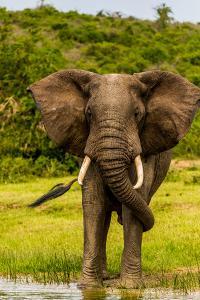 Elephants in Queen Elizabeth National Park, Uganda, East Africa, Africa by John Baran