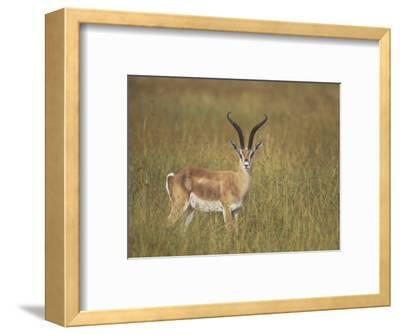 Buck Grant's Gazella, Gazella Granti, Kenya, Africa