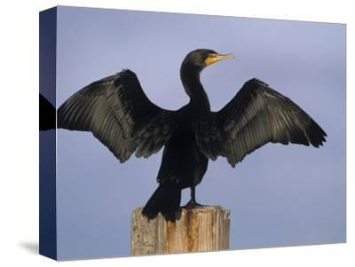 Double-Crested Cormorant Drying its Wings, , Phalacrocorax Auritus
