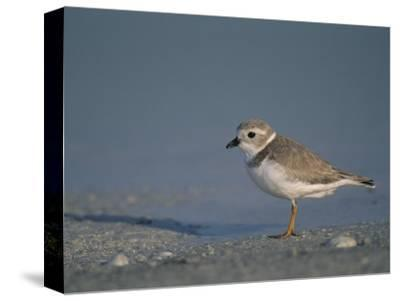 Piping Plover, a Threatened Species, Charadrius Melodus, . Usa., Charadrius Melodus